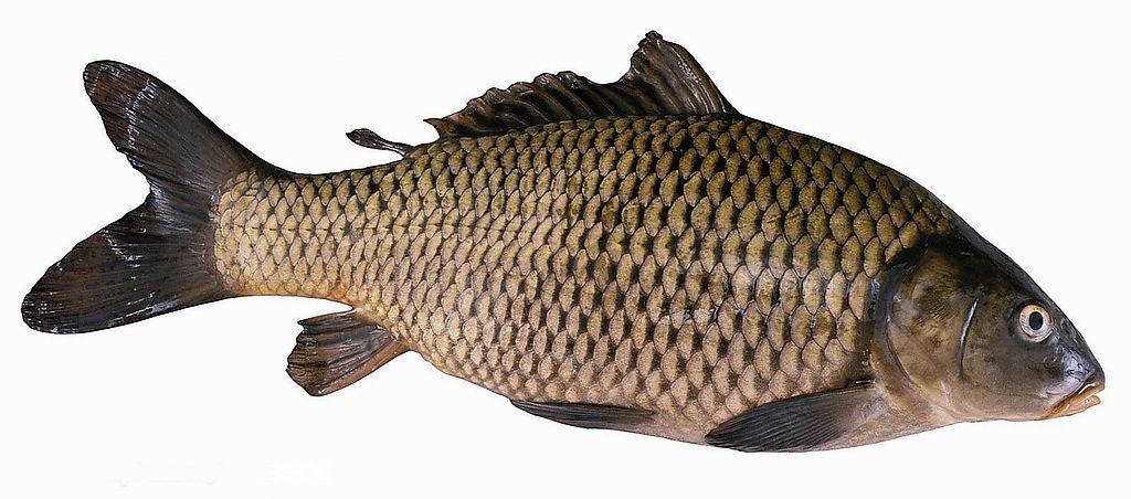 巩义伊洛鲤鱼
